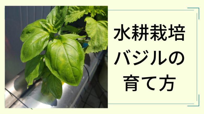 水耕栽培バジル